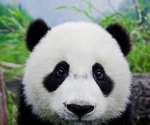 Baby panda♥