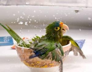 Bathing parrot♥