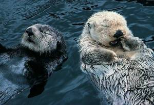 Otters : Courtesy of Wild Kingdom♥
